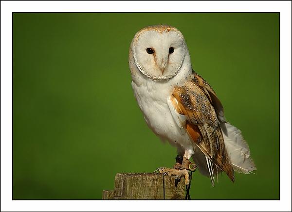 Barn Owl by Miles Herbert