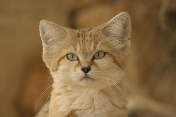 Sand Cat by dwjones