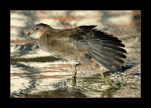 Moorhen chick by sferguk