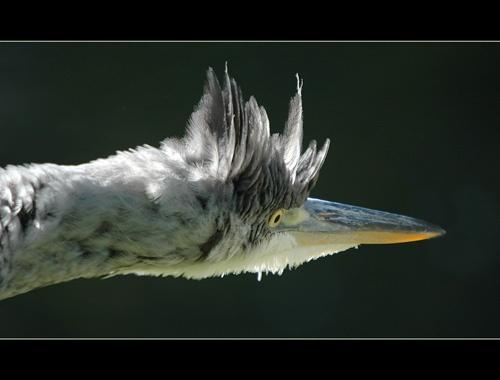 Scared Heron by sferguk