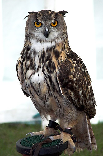 Eagle Owl II by chrisw
