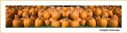 Pumpkin Panorama