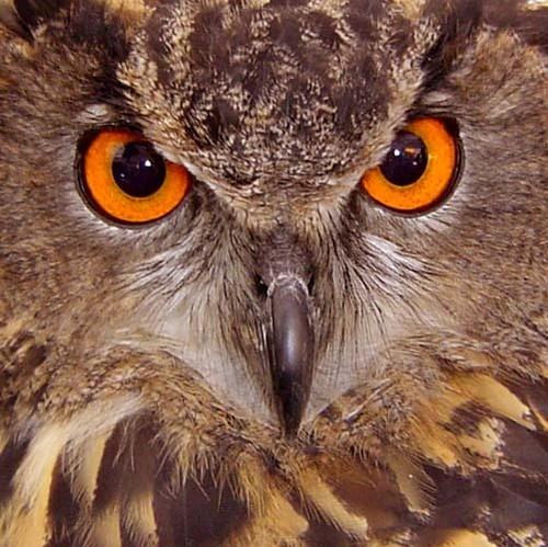 European Eagle Owl by fionaw