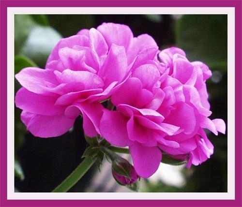 Pink Geranium 2 by AnnieK