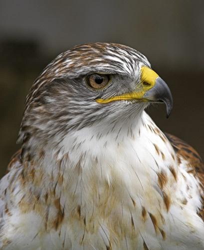 Hawk by db