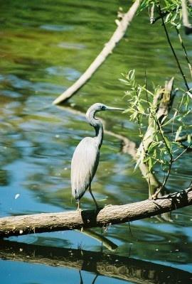 Blue Heron by stompie