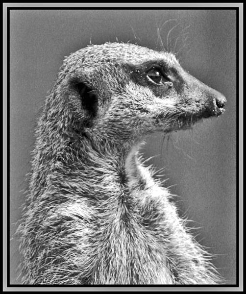 Meerkat in B/W by dcart29