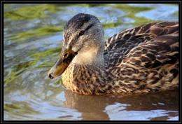 Dorset Duck