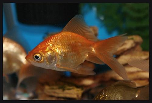 Goldfish 7 by aseshuk