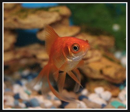 Goldfish 8 by aseshuk