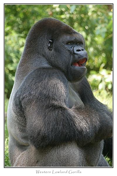 Lowland Gorilla by PaulG