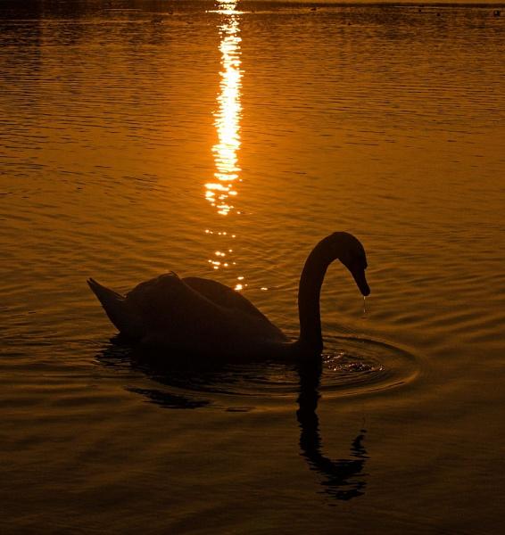 Sunset Swan by strawman