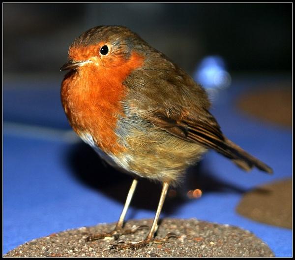 The Elusive Robin Shot by urban-hero