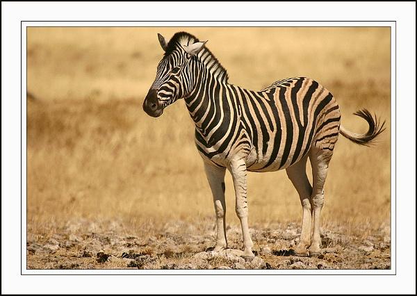 Burchells Zebra by proberts
