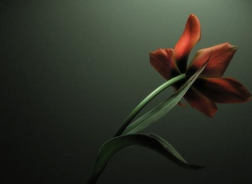 Tulip by aglaja