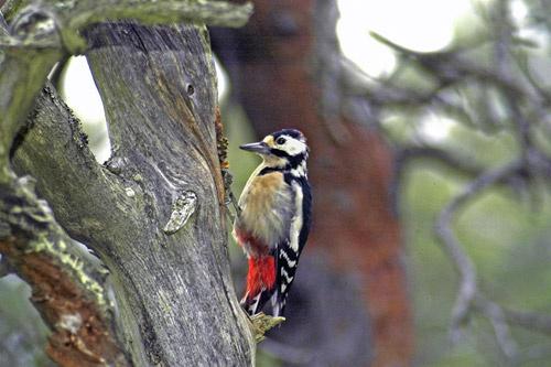 Busy Woodpecker by demetrio