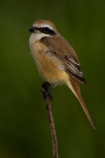 Shrike VII by suleesia