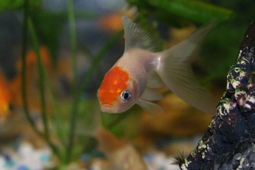 Goldfish 9 by aseshuk
