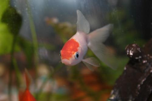 Goldfish 11 by aseshuk