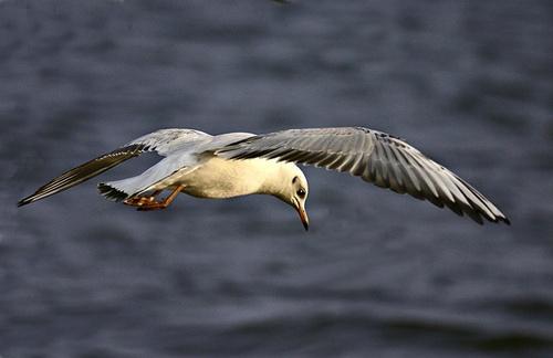 Gull by Dave_Henderson