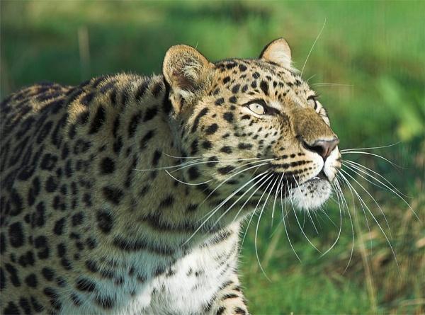 Leopard by ReidFJR