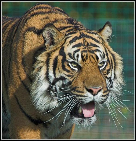 Stalking Tiger by ReidFJR