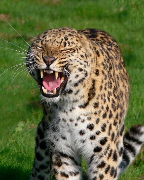 Amure leopard by MikeRC