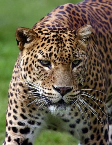 Amur Leopard 1 by P181