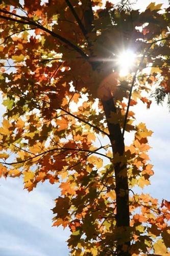 Sunshine on Maple by manicam
