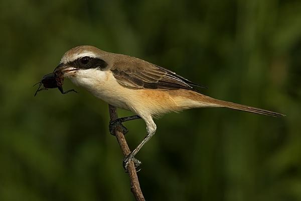 Shrike by suleesia