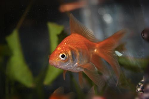 Goldfish 12 by aseshuk