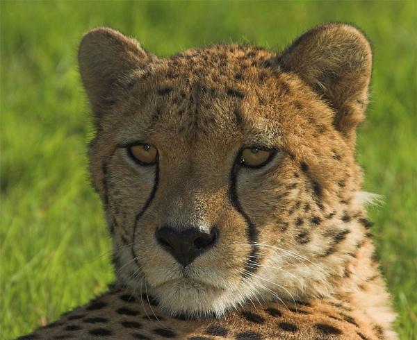 Cheetah by ReidFJR