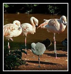 Flamingoes - Paignton Zoo
