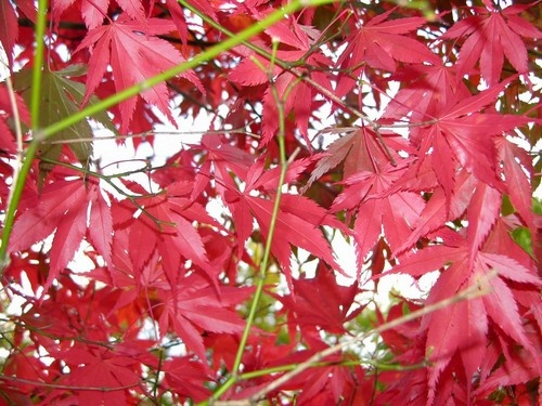 Red Leaves by tractor