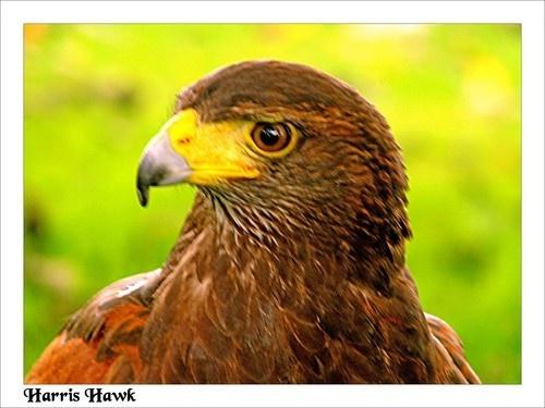 Harris Hawk by KBan