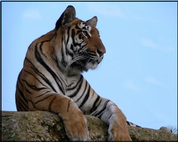 "\""Puna\"" Sumatron tiger by MikeRC"
