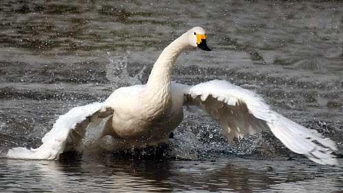 berwick s swan by nigelo