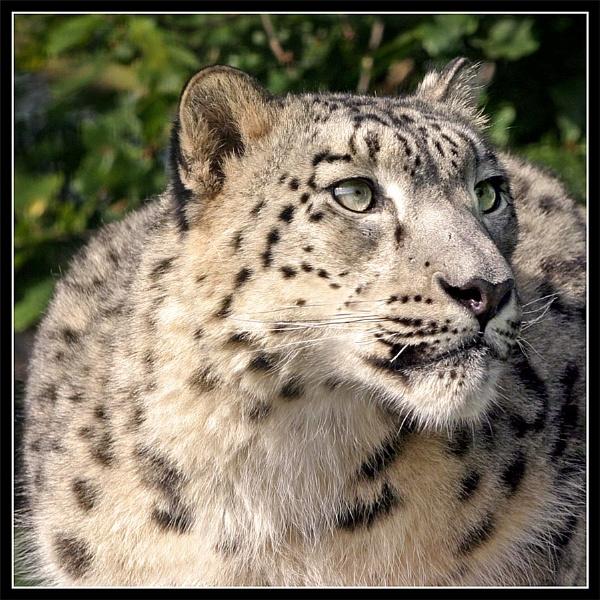 Snow leopard by Carol_f