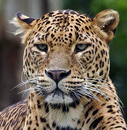 Amur-Leopard by P181