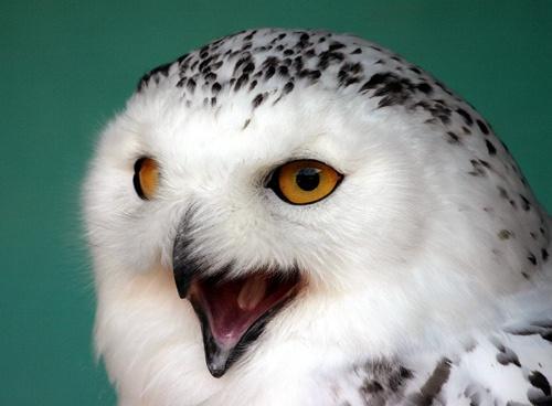 Snowy Owl by P181