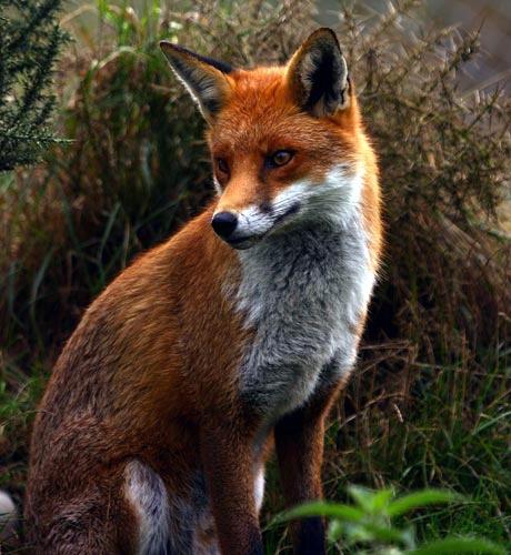 Fox 2 by P181