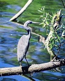 Blue Heron MkII by stompie