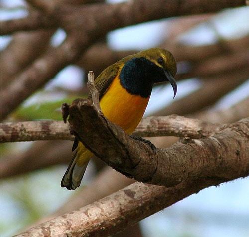 Yellow-bellied Sunbird by minniemanx