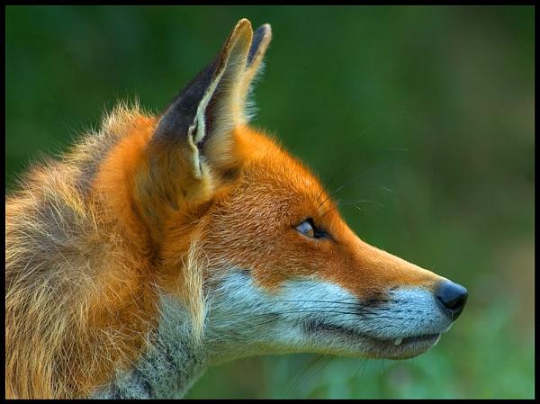 Fox 2 by gary900r