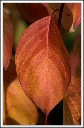 Autumn-Leaf by jaglin