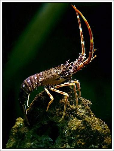 Creepy Crawly Crayfish by suregork
