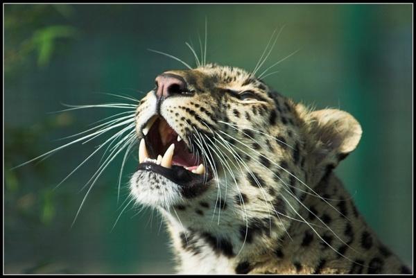 Amur leopard by ReidFJR