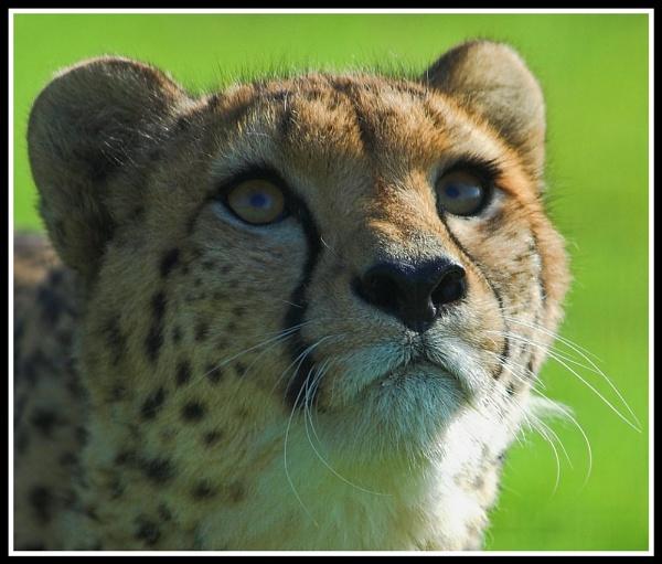 Stalking Cheetah by ReidFJR