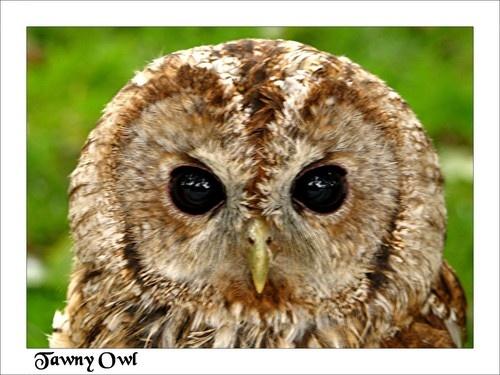 Tawny Owl by KBan