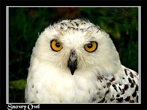 Snowy owl by KBan
